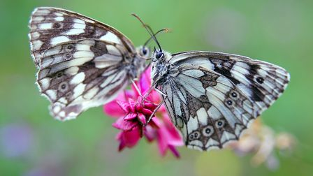 Marbled white butterflies. The lifecycle of caterpillars and other insects are triggered by temperat