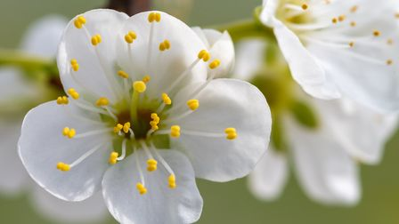In 2019 blackthorn flowered 27 days earlier than the baseline year of 2001. Image: Tom Meaker/Getty