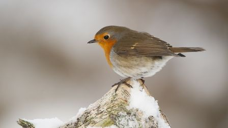 Robin (Erithacus rubecula) adult perched in winter. Photo: Mark Hamblin/2020Vision
