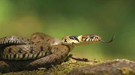 A male Grass Snake flicking its tongue to taste the air credit Getty Images/iStockphoto