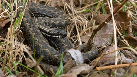 An adder hides in the grass credit HCT/Dave Hunt