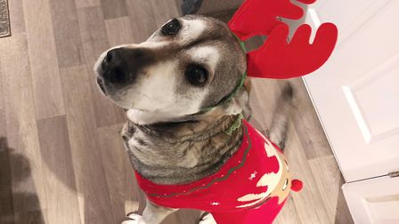 Lola the labsky poses in her reindeer outfit. Photo: Charli Carruthers