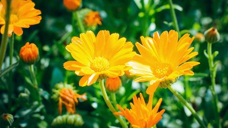 Calendula officinalis, which grows easily in all gardens and flowers right into late autumn, can be