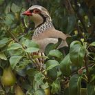 Red-legged Partridge in a Pear Tree
