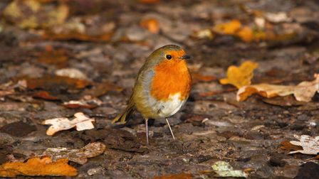 Robin by Peter Setter