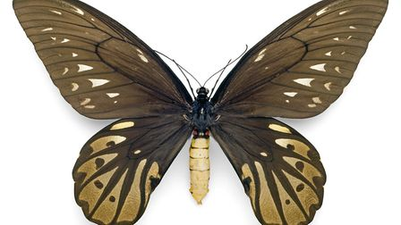 Queen Alexandra birdwing from Papua New Guinea. The largest butterfly in the world, it was discovere