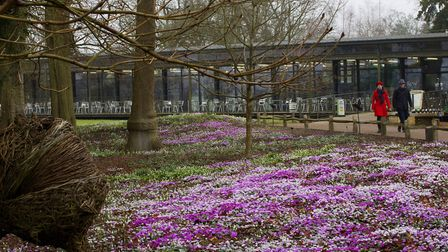 The carpet of cyclamen and snowdrops at Wakehurst. Photo: Leigh Clapp