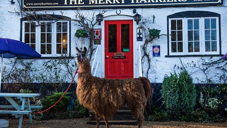 Llama treks are one of the other activities offered at the Merry Harriers