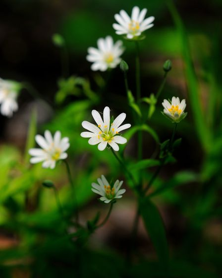 Stitchwort can be seen in abundance in the shade of ancient hornbeams (photo: MarinaParshina, Getty