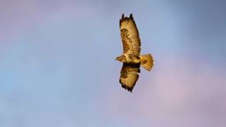 Cambridgeshire police are appealing for information after a member of the public found a buzzard shot dead.