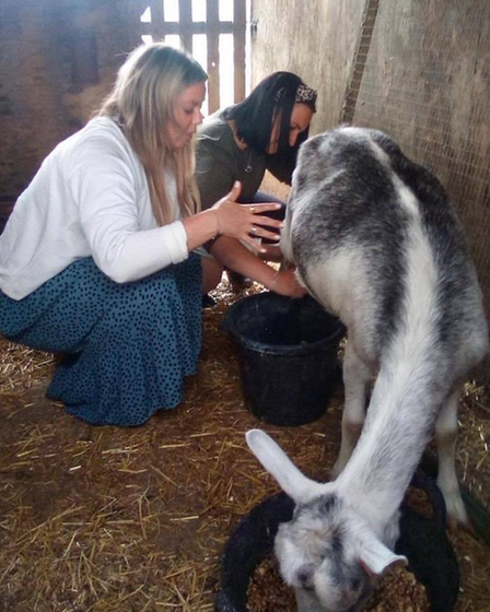 Goats being milked