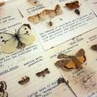 A drawer of harmful insects destroyed by museum beetle