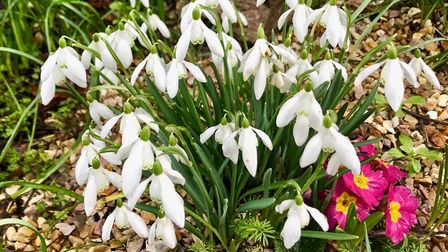 Snowdrops in bloom at Torre Abbey