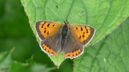 A small copper butterfly, of the kind seen on Nomansland Common near Wheathampstead.