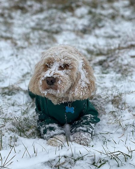 Dudley the cockapoo in Hornchurch Country Park.