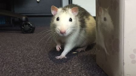 Stock image of a pet rat. Picture: Kirsty Reeder.