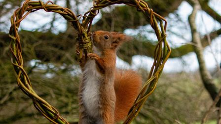 Red squirrels have a very good sense of smell and can even smell food buried under snow