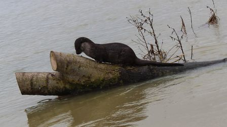 Angela Edlin managed to capture this otter busy at work in Huntingdon.