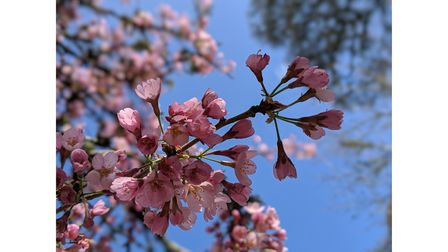 Cherry Blossom at RHS Rosemoor in Devon