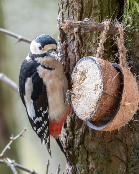 A greater spotted woodpecker on a coconut feeder in a tree.