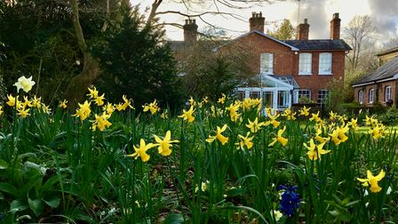 daffodils, house in background