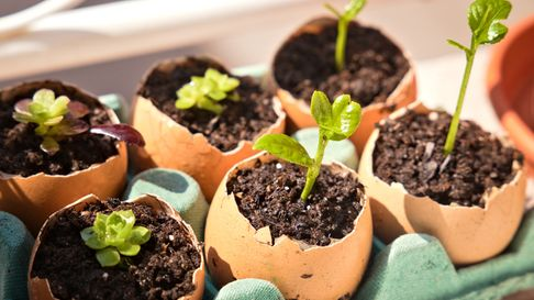 Eggshells can be used to grow seedlings.