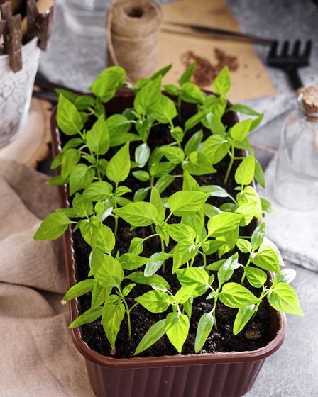 Vegetable punnets can be usedto grow seedlings.