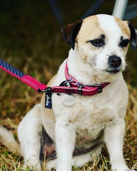 Pixie is an eight-year-old border terrier/pug cross and is white with brown spots