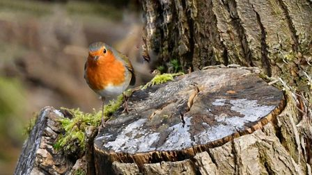 Jacqueline Hill took this photograph of a robin at Paxton Pits.