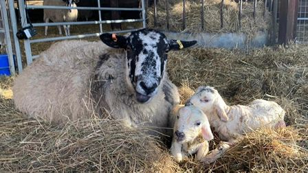 Ewe with new lambs at Willows Activity Farm