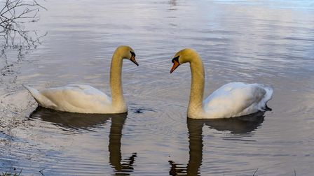 Peter Hagger took this picture of two swans at Paxton Pits.