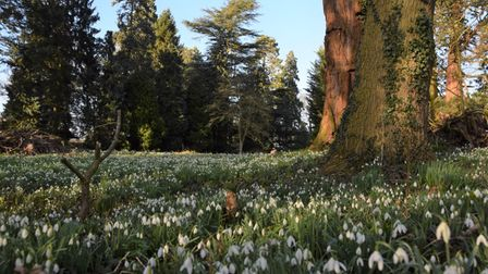 David Rootham took this photograph of snowdrops in The Thicket at Houghton.