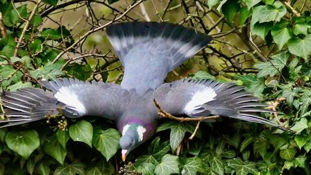 Gerry Brown sent us this image of wood pigeon feasting on ivy seeds, taken in his garden.