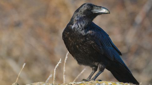 Common Raven (Corvus corax). Crow