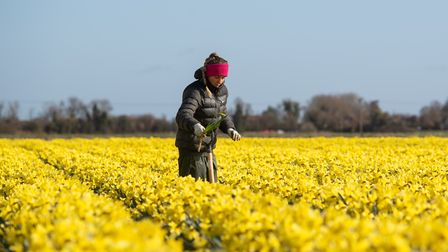 A worker makes her way along rows of daffodils, removing any rogue varieties, at Taylors Bulbs in Ho