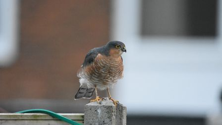 Peter Naylor took this shot of aRed Kite in his back garden in Eynesbury, St Neots.