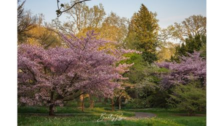 A path leading off through Cherry Blossoms at Batsford Arboretum, Gloucestershire