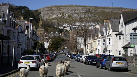 Mountain goats roam the streets of Llandudno, Wales. Picture: Christopher Furlong/Getty Images