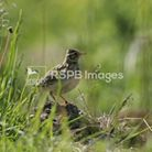Skylarks are among the birds nesting on Therfield Heath