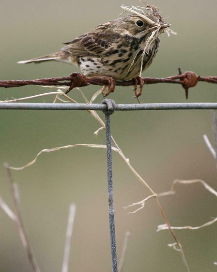 Meadow pipit Anthus pratensis, adult perched on fence with nest material