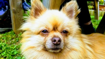 Benny, the pomeranian, was stolen from Tring a week before Christmas and is still missing.