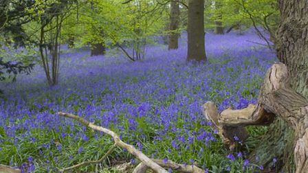 Bluebell Woods at Rostherne