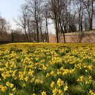 A host of golden daffodils, Chester