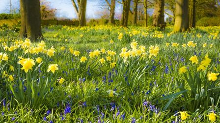 Daffodils and bluebells in Barrow