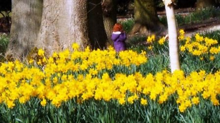 Lost Amongst The Daffodils, Dunham Gardens