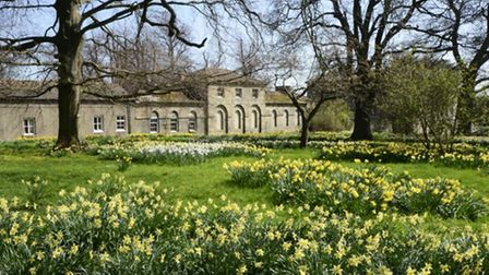 Daffodils at Constable Burton Hall with the Coach House in the background