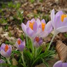 Crocuses taken by Muriel Morley via iwitness