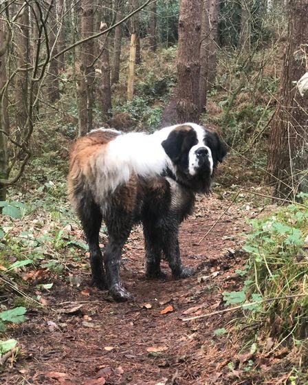 A brown and white St Bernard in the forest with muddy legs.