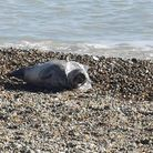 The seal was found trapped in plastic at Felixstowe beach on Saturday.