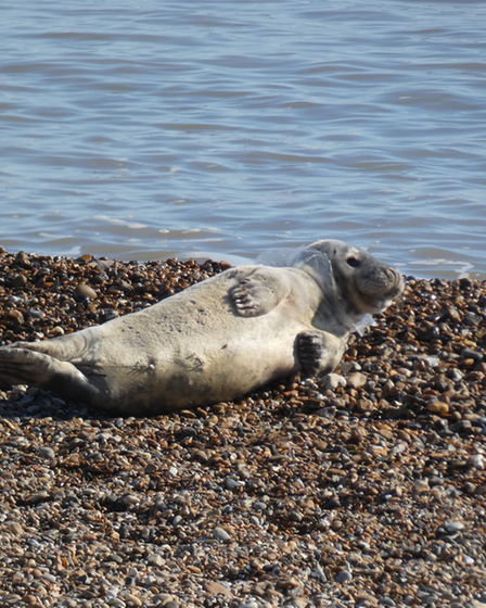 Seal trapped in plastic at Felixstowe beach by Eddie Lawrence
